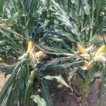 High Yield Corn 4