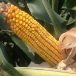 High Yield Corn 5
