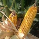 High Yield Corn 6