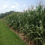 High Yield Corn 7