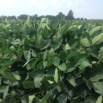 Soybeans 2