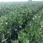 Soybeans 3