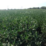 Soybeans 5