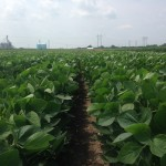Soybeans 9