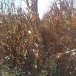 Corn Drying 2