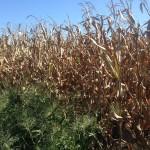 Corn Drying 3