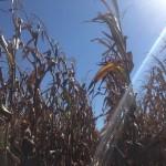 Corn Drying 4