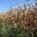 Corn Drying 5