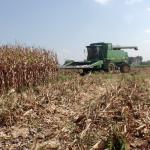 Corn Harvest 10