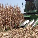 Corn Harvest 11