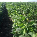 Double Crop Soybeans 3