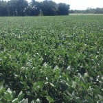 Soybeans 1