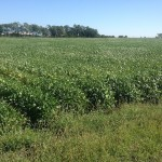 Soybeans 7