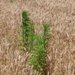 Yield Loss in Wheat