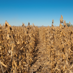 Three Reasons Why High Protein Soybeans Pay