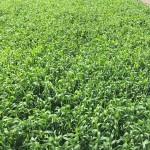 Wheat 07