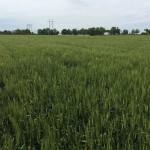 Wheat 08