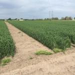 Wheat 09