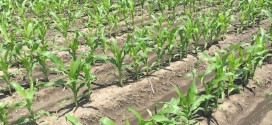 With 15 percent of Corn Unplanted, Farmers Weigh Switch to Earlier Hybrids or Soybean