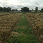 Bill-Cook-Wheat-Update-2015