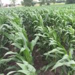 Corn 04