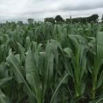 Corn 05