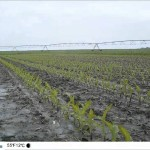 Corn Time Lapse Showing May Rainfall