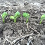Soybeans 01