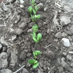 Soybeans 04