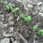 Soybeans 05