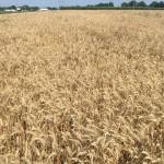 Wheat 01