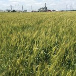 Wheat 02