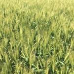 Wheat 03