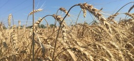 Diseased Wheat Plagues Farmers