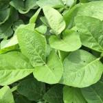 Sweetener Applications Optimize Plant Health