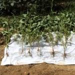Virginia Beach Soybean Comparison for BigSoy100 Trial