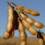 Dry Soybean Pods