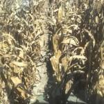 East Coast Corn Plot Harvesting