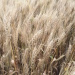 Winning Big Yield Wheat Solution