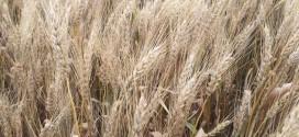 Winning Big Yield Wheat Solution