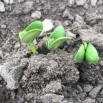 In-Furrow Applications Help Seedlings