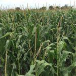 All Non-GMO for Corn