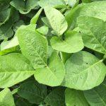 Cobalt Levels in Legumes