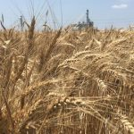 Big Wheat Yields
