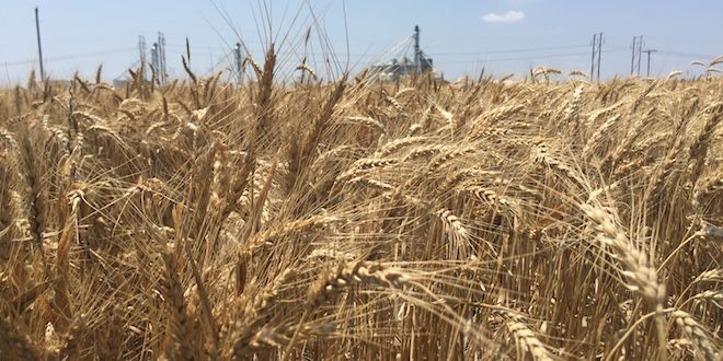Research Center Gets Big Wheat Yields