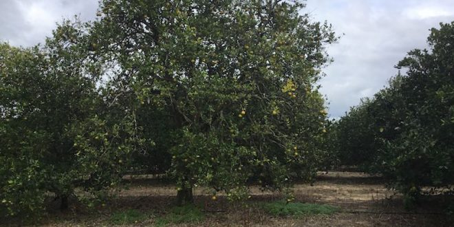 Photos of BigSweetYield Effect on Citrus Greening Disease