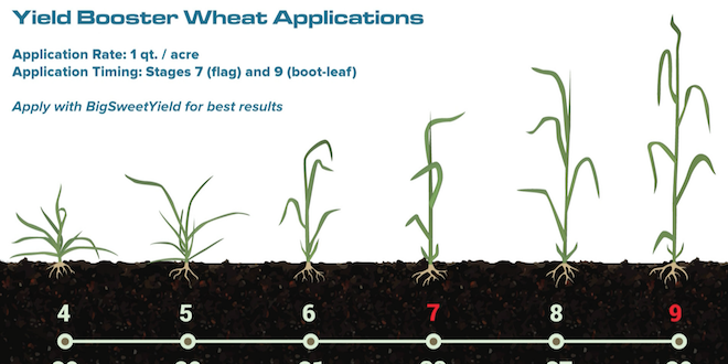 BigYield.us Wheat Application Timing