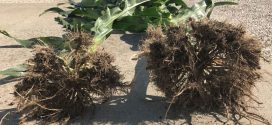 Root Mass Difference Using BP In-Furrow
