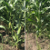In-Row Burning Comparison on Organic Corn