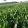Dave McCowan Midseason Corn Walkthrough